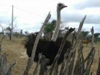 no-sertao-tambem-tem-avestruz