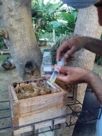 colheita-de-mel-de-mandacaia